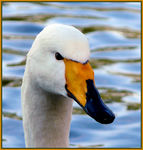 Title: A Whooper Swan