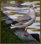 Title: Black Headed Gull