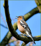 Title: Chaffinch Camera: Panasonic Lumix DMC-FZ50