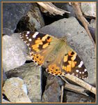 Title: Painted Lady (Vanessa Cardui)
