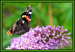 Title: A Red Admiral