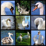 Title: The Mute Swan