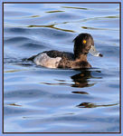 Title: Tufted Duck