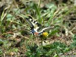 Title: Papilio machaon Linaeus 1758