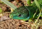 Title: Green lizard at the Plain of Sorques