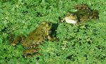 Title: Frogs rennets: love parade
