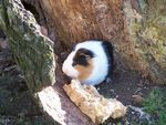 Title: Guinea-pig in Souppes'woods