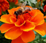 Title: Marigold and the Hoverfly
