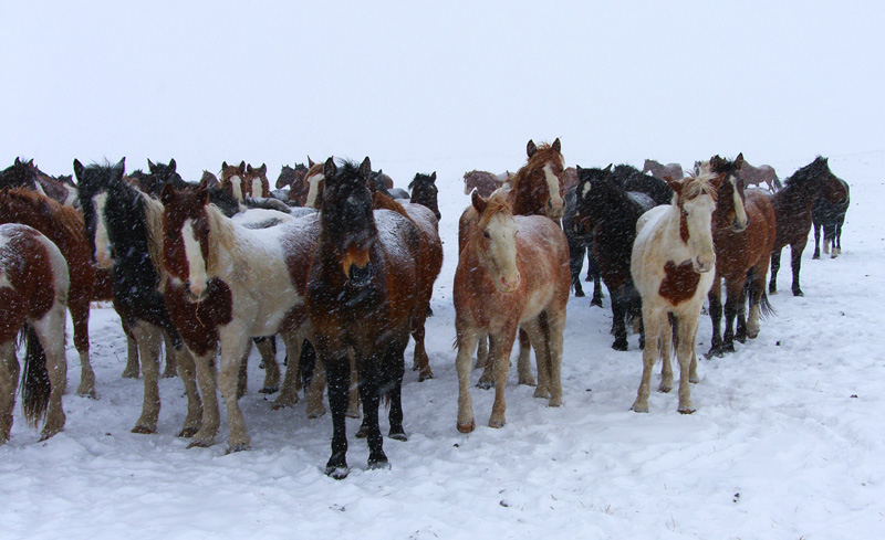 Ponies on the Winter Range