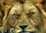 Title: Sleepy Lion