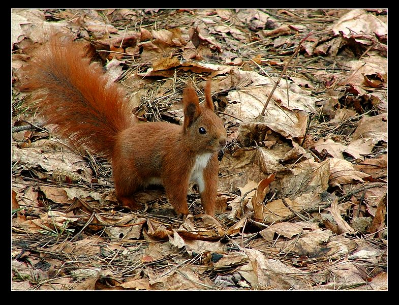 Red Squirrel :-)