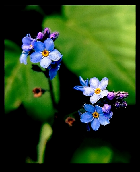 ..::Forget-me-not::..