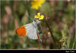 Title: Orange Tip