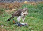 Title: Hungry, Hungry Hawk-Ocanon s3 is