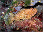 Title: ScorpionfishOlympus C-7070 Wide Zoom