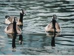 Title: 3 Geese on Pond