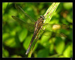 Title: Green Dragonfly