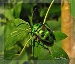 Title: Jewel Bug 2