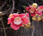 Title: Couroupita guianensis Aubl.