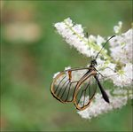 Title: Glasswing