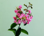 Title: Lagerstroemia indica