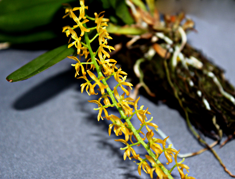 Notylia orchid
