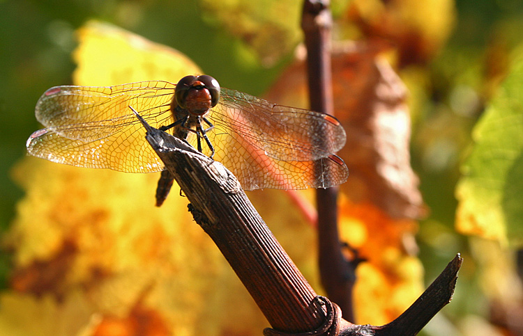 Dragonfly in a vineyard