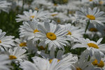 Title: Field of Daisies