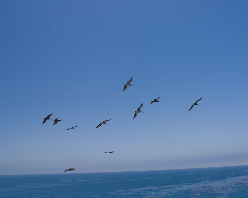Flight of Pelicans