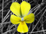 Title: Yellow Violet