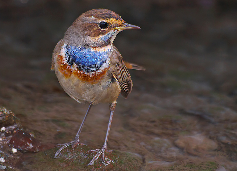 Mavigerdan (Bluethroat)