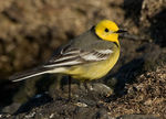 Title: Citrine Wagtail