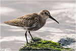 Title: The Dunlin