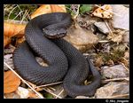 Title: Boreal Adder Camera: Panasonic Lumix DMC-FZ7