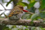 Title: Banded Kingfisher (Female)