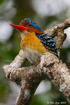 Title: Banded Kingfisher (Male)