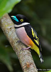 Title: Black and Yellow Broadbill Camera: Canon 5D