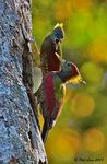 Title: Crimson-Winged Woodpeckers