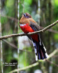 Title: Red Headed Trogon (Female)