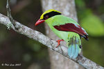 Title: Common Green Magpie