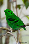Title: Green Broadbill - MaleCanon 5D