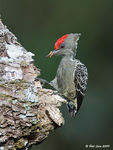 Title: Grey and Buff Woodpecker (Male)