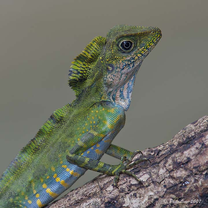 Great Anglehead Lizard