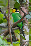 Title: Long-Tailed Broadbill