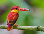 Title: Oriental Dwarf Kingfisher - Rufous BackCanon EOS 1D Mark IV
