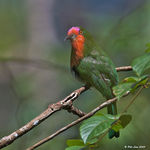 Title: Red-Bearded Bee Eater