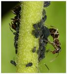 Title: Ant and aphidsCanon EOS 30 D
