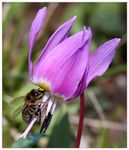 Title: Bee on Dogtooth Violet