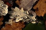 Title: Oak leaves and Waterpearls Camera: Canon EOS 30 D