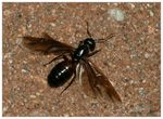 Title: Winged ant